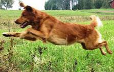 Vassruggens Loke är en jaktgolden som blivit pappa till flera kullar på Tomthult.