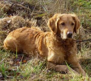 Lea, Vassruggens Äska Dyrdil, f. 2009 e. Good Luck Yankee u. Vassruggens Tritla Beinfoldar