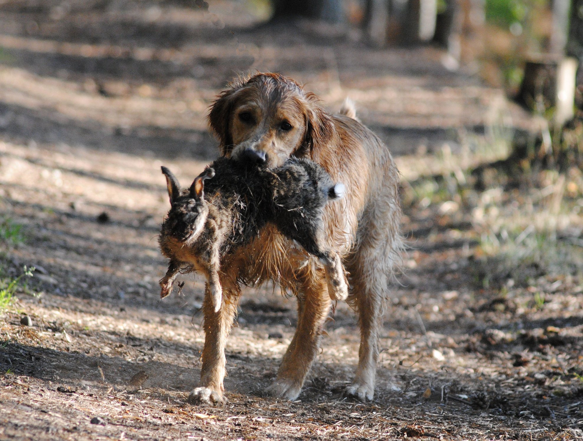 Britta på väg in med en hare